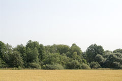 Campo giallo davanti ad un boschetto verde di estate Fotografia Stock