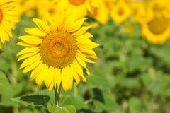 Campo giallo dei girasoli Immagine Stock