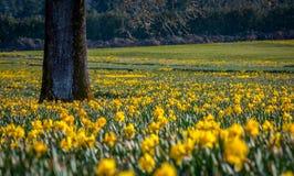 Campo giallo dei narcisi Fotografia Stock