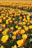 Campo giallo dei tulipani Fotografie Stock
