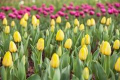Campo giallo dei tulipani con il fondo rosa dei tulipani Immagine Stock Libera da Diritti