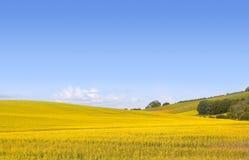 Campo giallo del canola Fotografie Stock Libere da Diritti