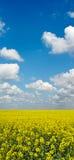 Campo giallo del raccolto della violenza con cielo blu qui sopra Fotografia Stock Libera da Diritti