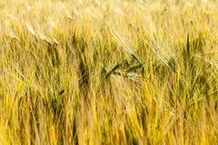 Campo giallo dell'azienda agricola Fotografia Stock