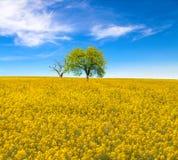 Campo giallo della colza con gli alberi sotto il cielo blu Fotografia Stock