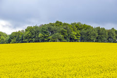 Campo giallo della colza sotto il cielo blu con il sole Immagini Stock