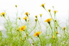 Campo giallo della margherita Fotografie Stock Libere da Diritti