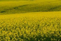 Campo giallo della violenza in primavera, concetto di agricoltura Immagini Stock