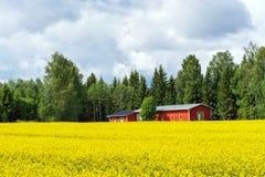 Campo giallo di grano saraceno Immagini Stock