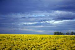 Campo giallo dopo pioggia Immagine Stock