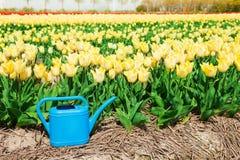 Campo giallo luminoso del tulipano con l'annaffiatoio blu Fotografie Stock