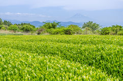 Campo giapponese del tè verde a Shizuoka Immagini Stock Libere da Diritti