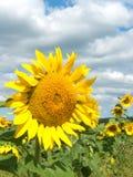 Campo; girasole del fiore Fotografia Stock Libera da Diritti