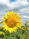 Campo; girassol da flor Fotografia de Stock Royalty Free