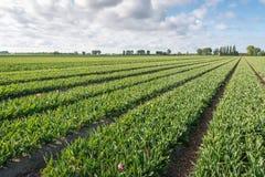 Campo grande del tulipán después de cortar los flowerheads Imágenes de archivo libres de regalías