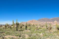 Campo grande enorme del cactus Foto de archivo