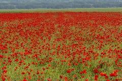 Campo grande floreciente de la amapola con las cabezas de la semilla Imágenes de archivo libres de regalías