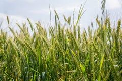 Campo, grano, segale o orzo e un bello tramonto sui precedenti della città U Immagine Stock