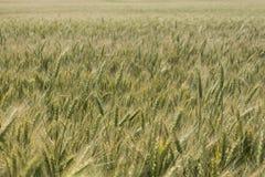 Campo, grano, segale o orzo e un bello tramonto sui precedenti della città U Immagini Stock Libere da Diritti