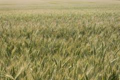 Campo, grano, segale o orzo e un bello tramonto sui precedenti della città U Fotografie Stock
