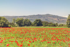 Campo hermoso de la amapola en Toscana Foto de archivo