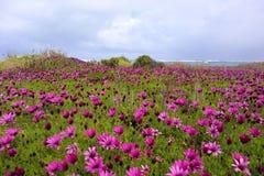Campo hermoso de las margaritas rosadas brillantes de la playa por el océano con las ondas en fondo imagen de archivo