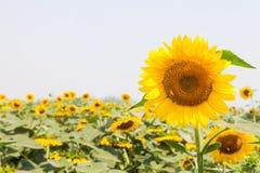 Campo hermoso de los girasoles Imagen de archivo libre de regalías