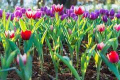 Campo hermoso de los tulipanes en jardín Foto de archivo