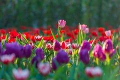 Campo hermoso de los tulipanes en jardín Fotografía de archivo libre de regalías