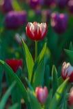 Campo hermoso de los tulipanes en jardín Fotografía de archivo