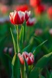 Campo hermoso de los tulipanes en jardín Foto de archivo libre de regalías