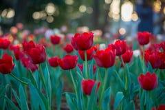 Campo hermoso de los tulipanes en jardín Imágenes de archivo libres de regalías