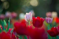 Campo hermoso de los tulipanes en jardín Imagen de archivo
