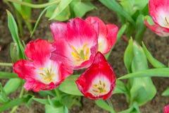 Campo hermoso de los tulipanes en jardín Imagenes de archivo