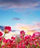Campo hermoso de los tulipanes en los Países Bajos Fotografía de archivo libre de regalías
