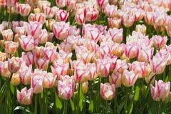Campo hermoso de los tulipanes en tiempo de primavera fotografía de archivo