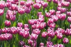 Campo hermoso de los tulipanes en tiempo de primavera fotografía de archivo libre de regalías