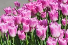 Campo hermoso de los tulipanes en tiempo de primavera imagen de archivo libre de regalías
