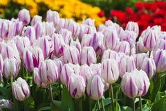 Campo hermoso de los tulipanes en tiempo de primavera foto de archivo