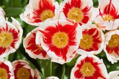 Campo hermoso de los tulipanes en tiempo de primavera fotos de archivo