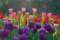 Campo hermoso de los tulipanes por mañana del jardín Fotos de archivo libres de regalías