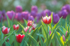 Campo hermoso de los tulipanes por mañana del jardín Foto de archivo