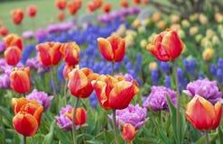 Campo hermoso de tulipanes coloridos Foto de archivo libre de regalías