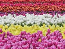 Campo hermoso de tulipanes florecientes Imagen de archivo libre de regalías