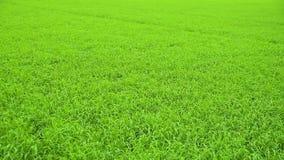 Campo hermoso del arroz que se sacude en el viento almacen de metraje de vídeo