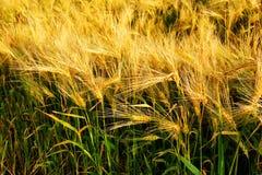 Campo hermoso del cereal de la cebada Fotografía de archivo