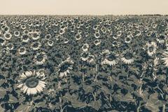 Campo hermoso del girasol por la tarde Fotos de archivo libres de regalías