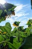 Campo hermoso del girasol por la tarde Fotografía de archivo