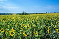 Campo hermoso del girasol por la tarde Imagen de archivo libre de regalías