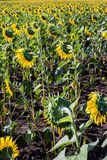 Campo hermoso del girasol por la tarde Foto de archivo